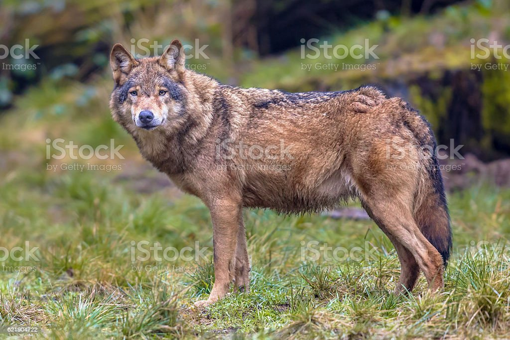 Wolf eye contact in a forest stock photo