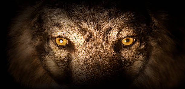 wolf eyes - aggression stock photos and pictures