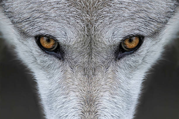 wolf eyes - animal eye stock pictures, royalty-free photos & images