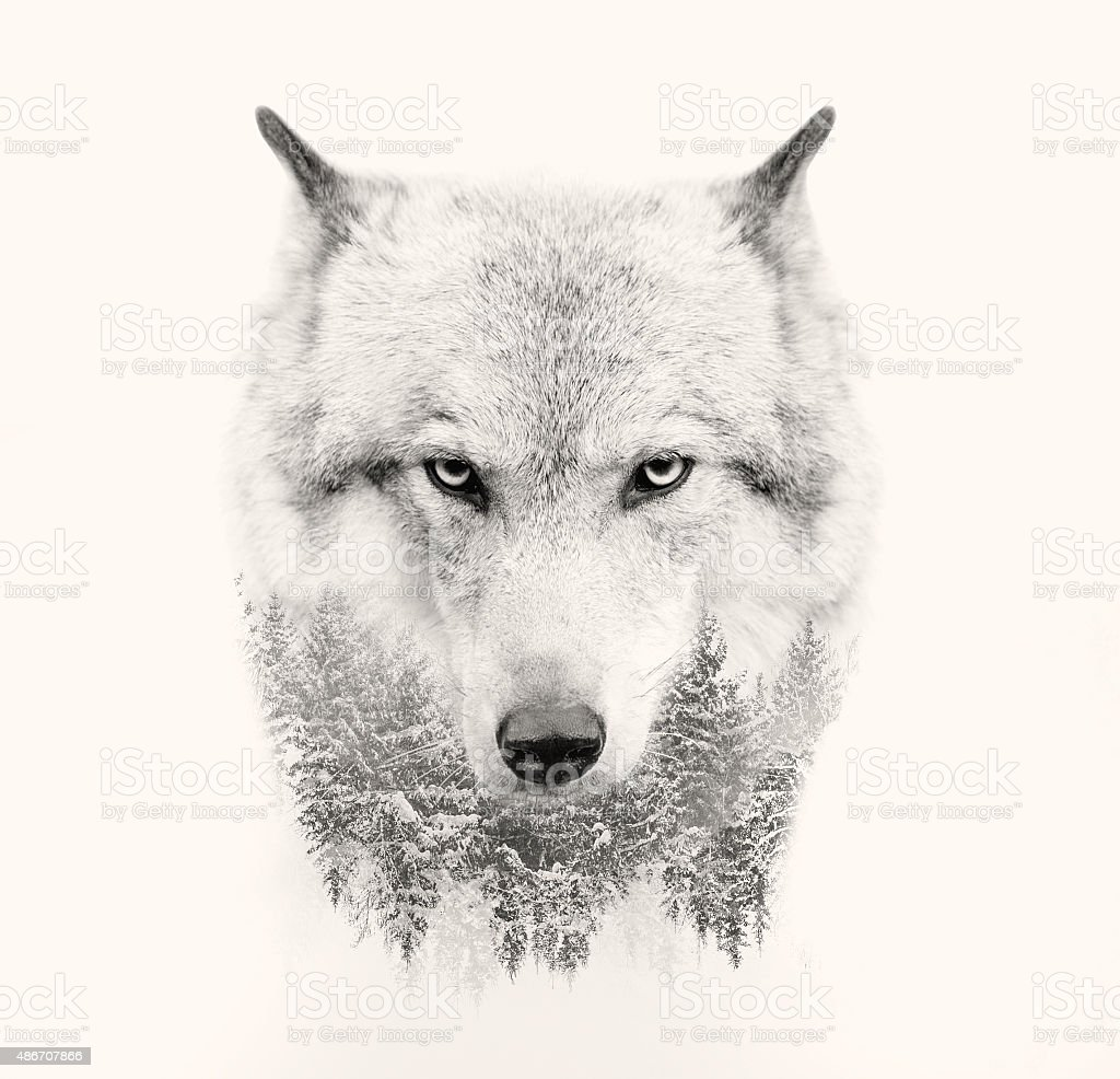 wolf face on white background double exposure stock photo