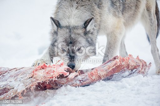 Gray Wolf (Canis lupus) feeding on a carcass in winter
