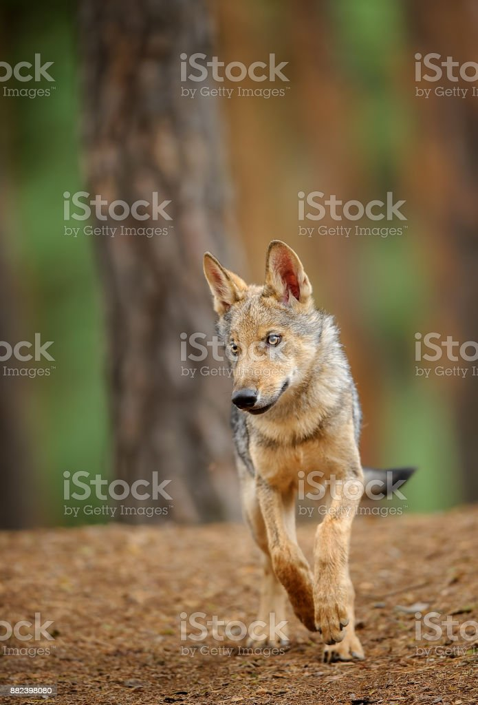Wolf from front view in forest stock photo