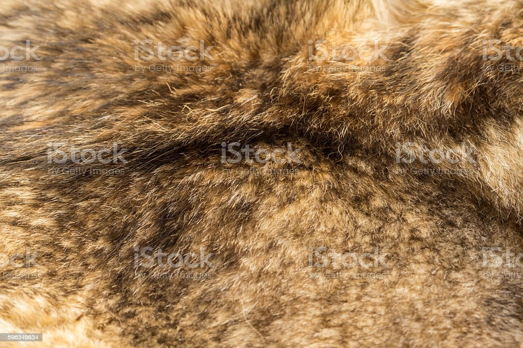 Wolf fur texture royalty-free stock photo