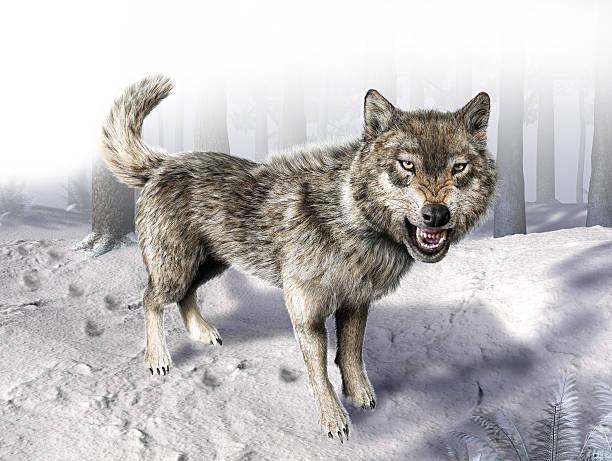 wolf growling standing on snow. - knurren stock-fotos und bilder