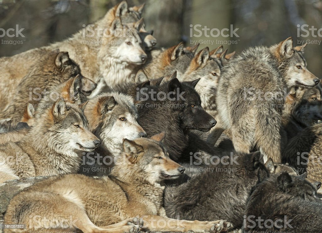 Wolf Heads royalty-free stock photo
