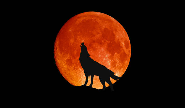 wolf howling at the big full blood moon - lupo foto e immagini stock