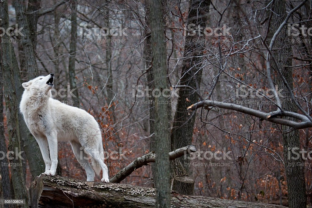 Wolf Howling Back stock photo