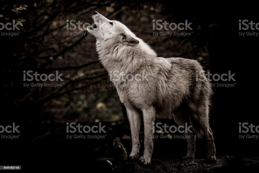 Wolf howling in the dark stock photo