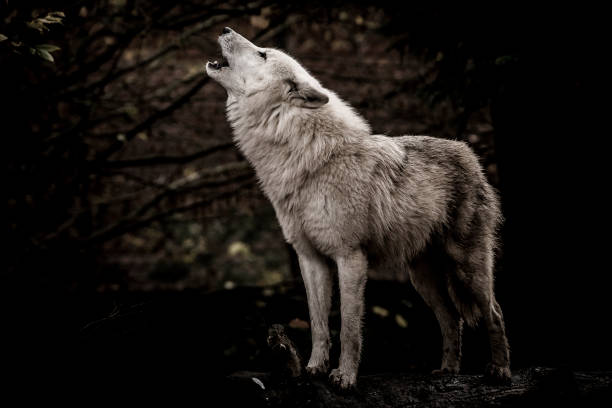 wolf howling in the dark - lupo foto e immagini stock