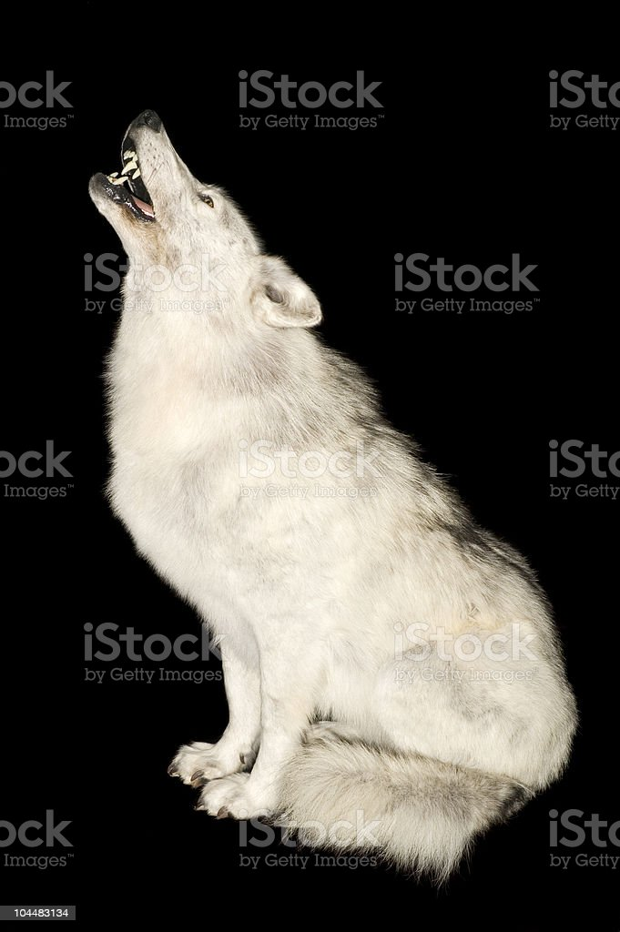 Wolf howling isolated over black stock photo