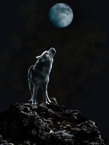 Wolf howls at the moon on a dark night stock photo