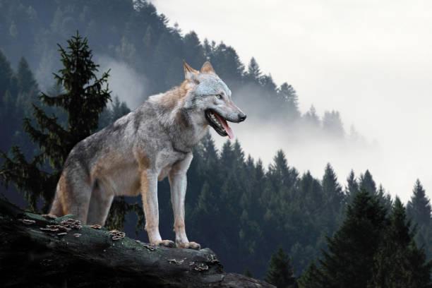varg jakt i berg - varg bildbanksfoton och bilder