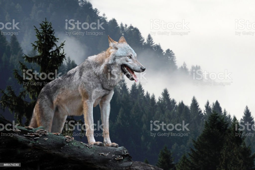 Wolf hunting in mountain stock photo