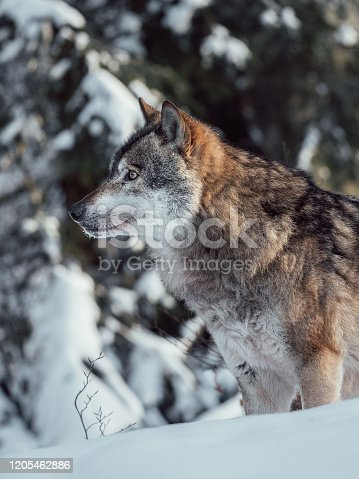 Wolf hunting in winter forest.