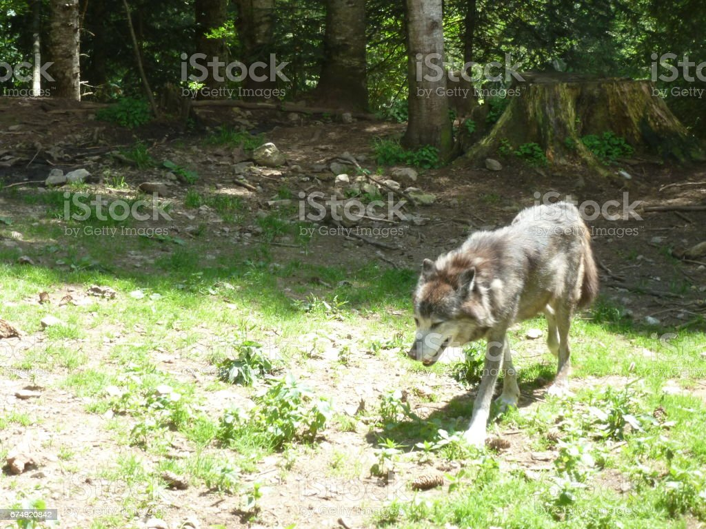 Wolf in a park in the French Alps royalty-free stock photo