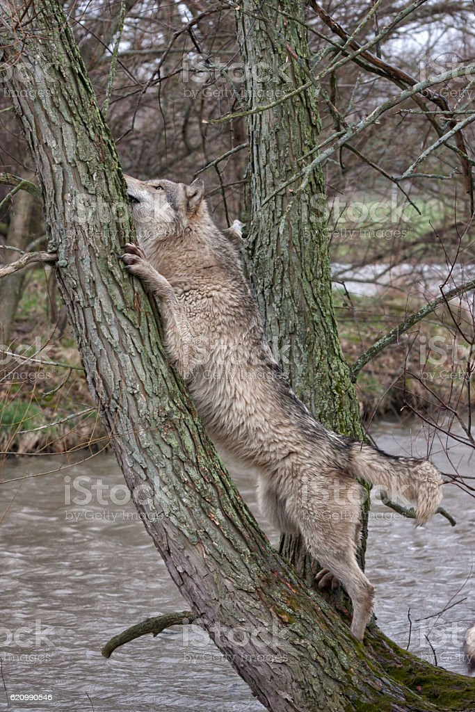 Wolf in a Tree foto royalty-free
