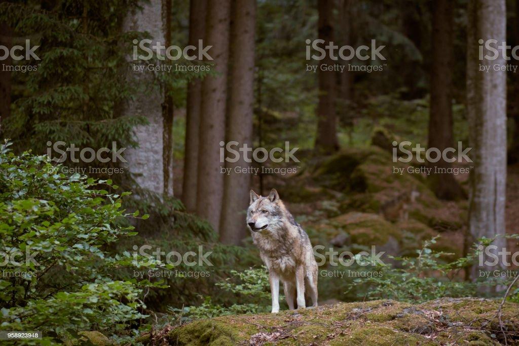 Lobo en el Parque Nacional Bayerischer Wald. Alemania. foto de stock libre de derechos