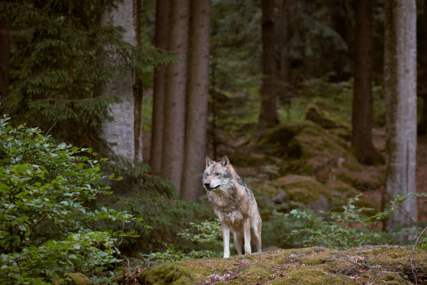 wolf in bayerischer wald national park. germany. - lupo foto e immagini stock