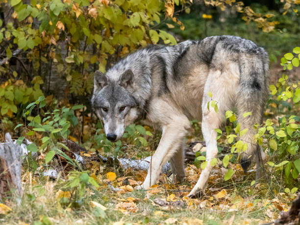Wolf in Foliage Intense Look in Natural Autumn Setting Captive stock photo
