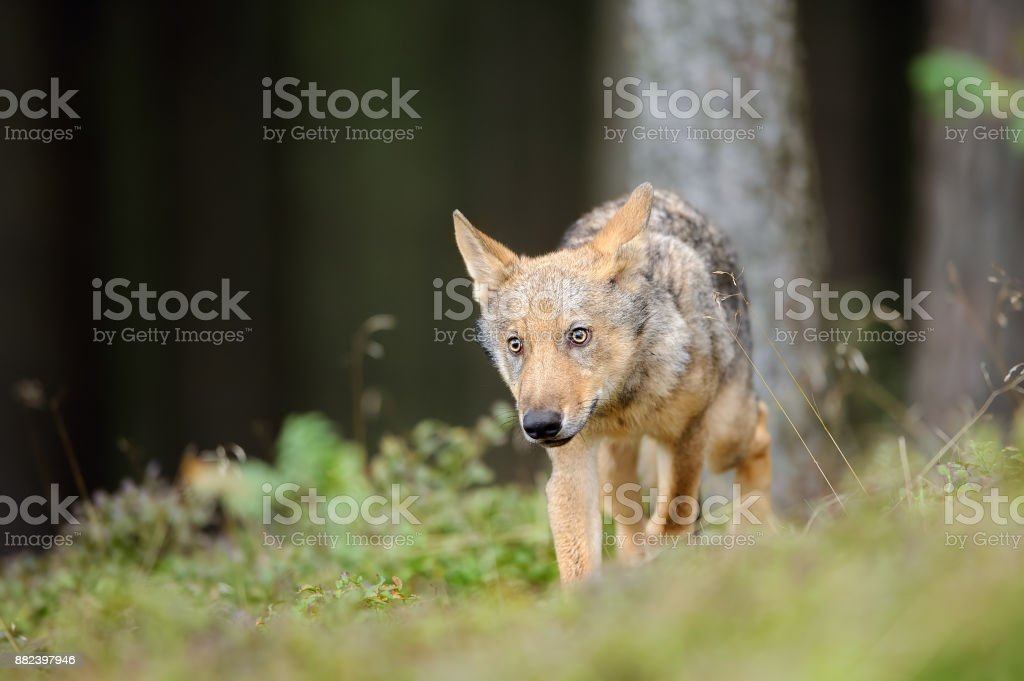 Wolf in forest in obey position from front side stock photo