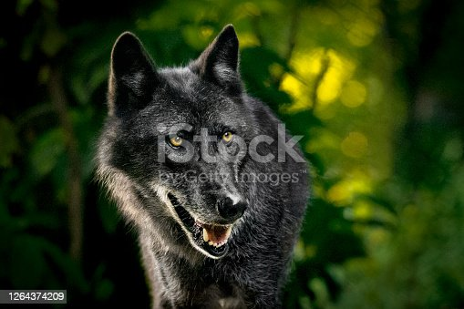 Portrait of a gray wolf in the forest. The photo was taken at dusk. Trees and leaves in the background are heavily blurred.