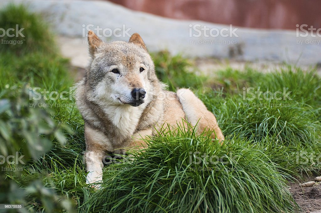 Wolf in Moscow zoo royalty-free stock photo