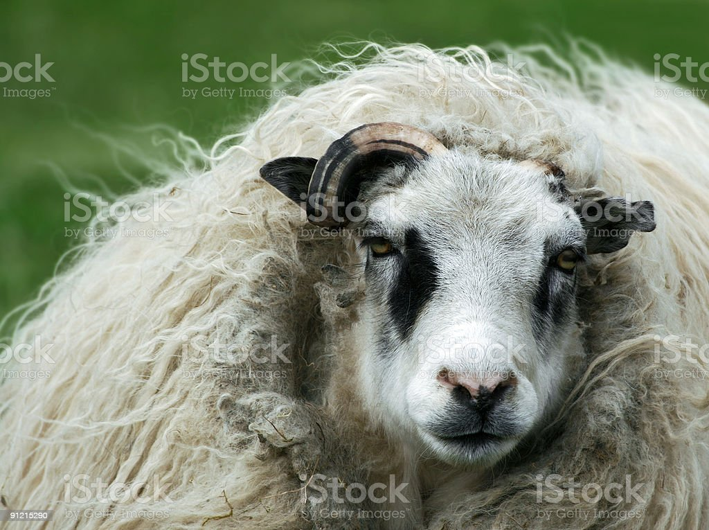 Wolf in sheeps clothing stock photo