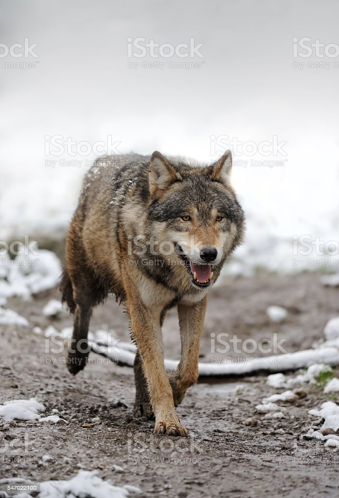 wolf in snow stock photo