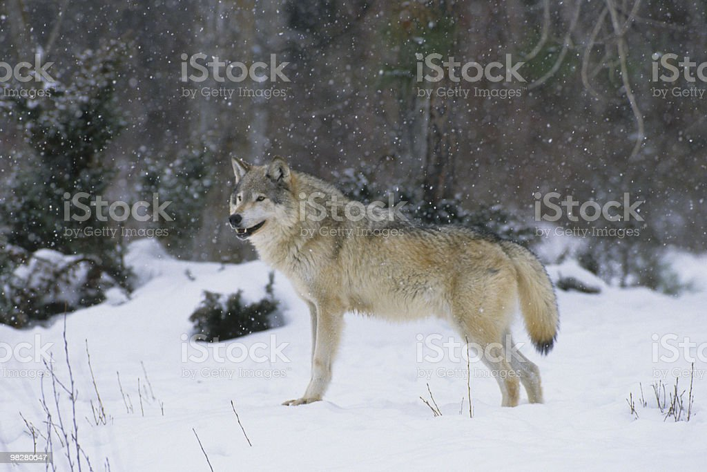 Wolf in Snowstorm royalty-free stock photo