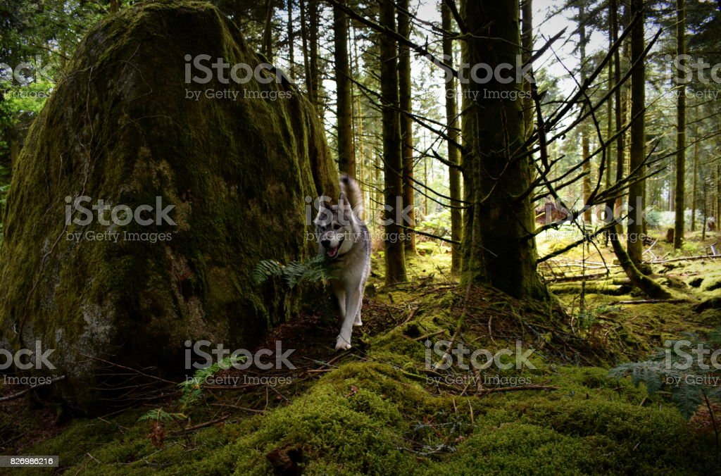 Wolf in the forest. stock photo
