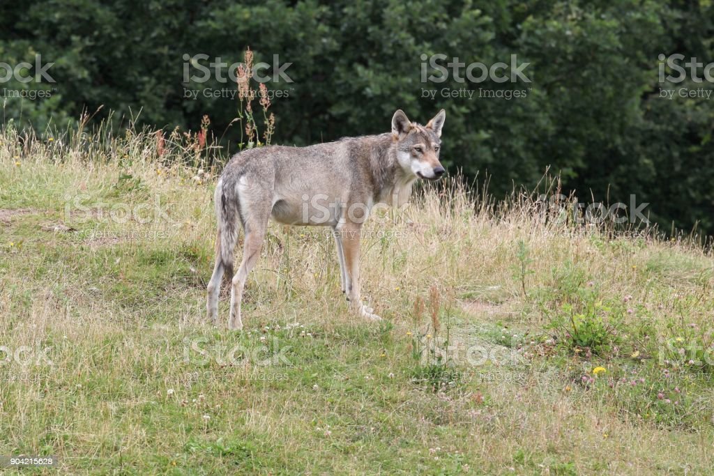 Wolf in the nature stock photo