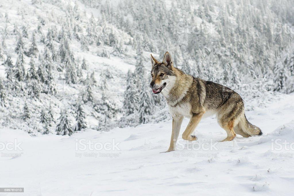 Lobo na neve - foto de acervo