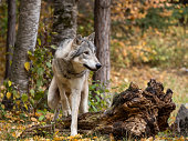 A captive Tundra Wolf walking through the trees. A game farm in Montana, with animals in natural settings.