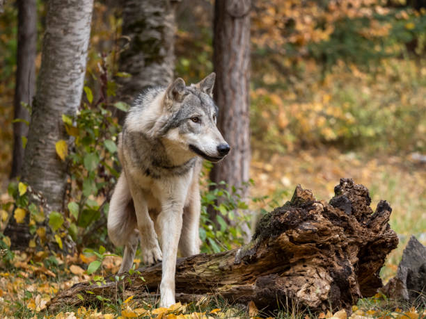 wolf in trees intense look in natural autumn setting captive - lupo foto e immagini stock
