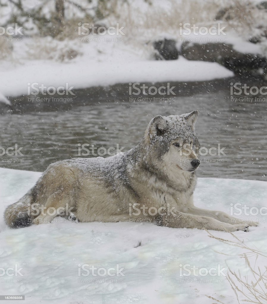 wolf in winter royalty-free stock photo