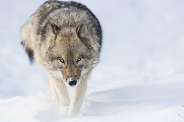 varg i vinter - varg bildbanksfoton och bilder