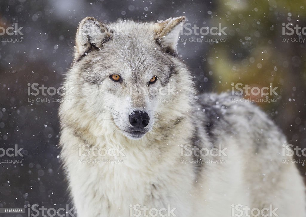 Wolf in Winter Snow stock photo