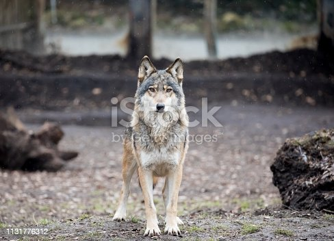 Wolf in ZOO