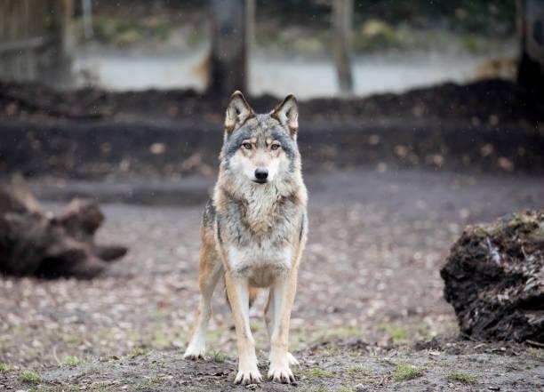 varg i zoo - wolf bildbanksfoton och bilder