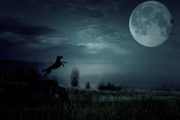 늑대는 점프와 달에 짖는. 스톡 사진
