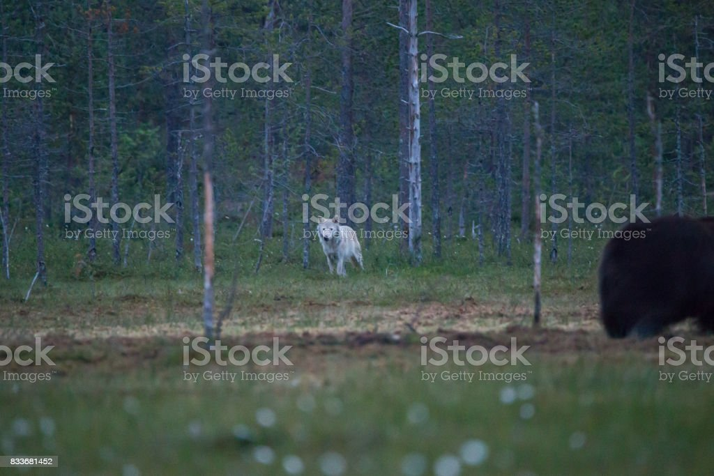 Wolf looking bear from darkness stock photo