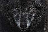 Blickkontakt mit einem Wolf