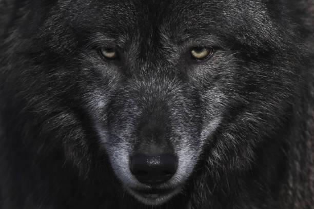 """wolf * lupus """" - varg bildbanksfoton och bilder"""