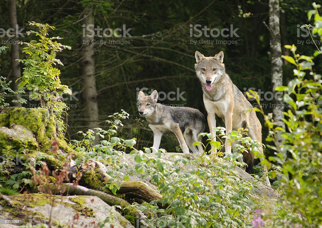 Wolf mother with cub stock photo
