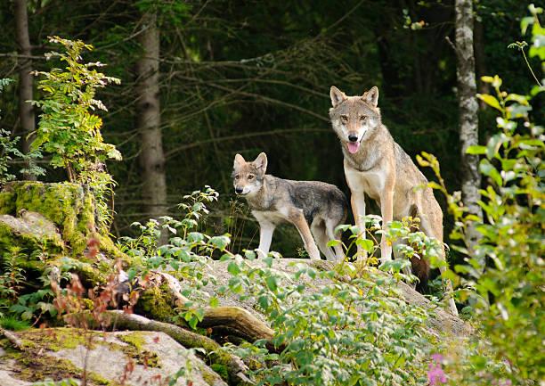 wolf mother with cub - gråvarg bildbanksfoton och bilder