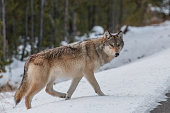 Grey wolf from the Wapiti Lake Pack getting ready to cross the road in Yellowstone National Park.