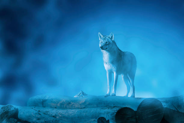 Wolf on a moonset stock photo