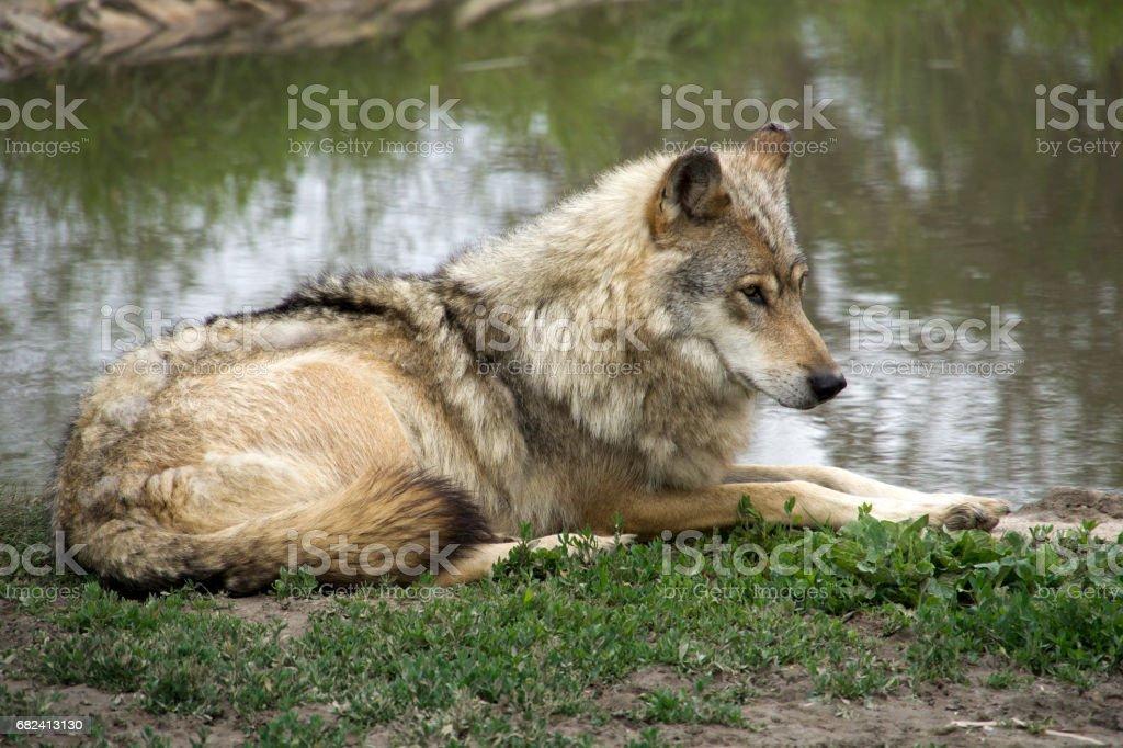Loup sur la berge photo libre de droits