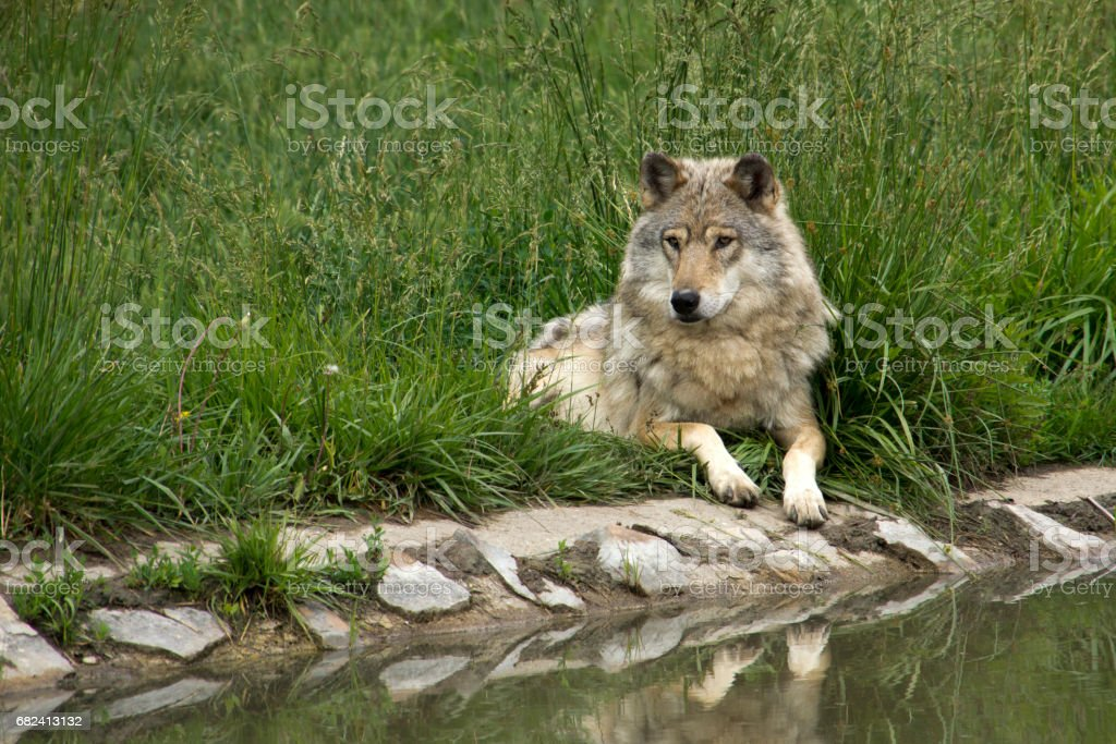 Wolf on the waterside royalty-free stock photo