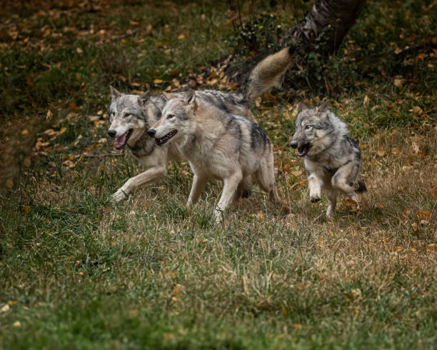 Wolf pack at Triple D Game Farm Kalispell Montana USA stock photo